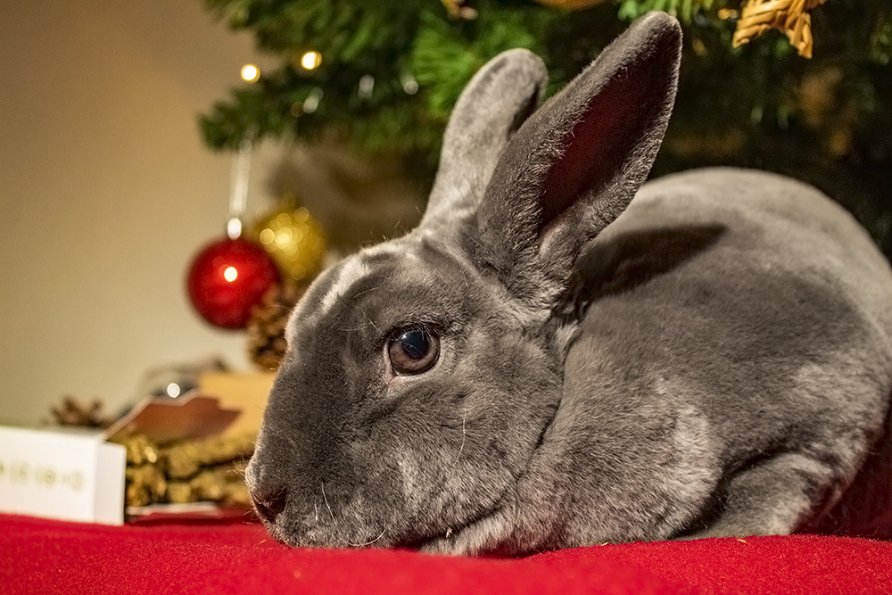 Grey Mini Rex rabbit sat under a Christmas tree